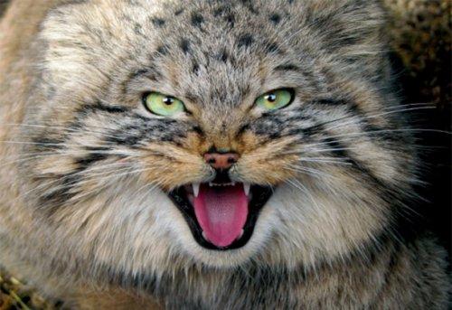 История про Озёрского кота-манула взорвала Интернет