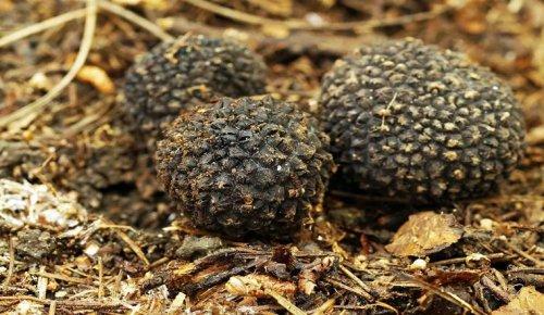 Лучше не трогать. Редкие грибы с запахом чеснока нашли в лесу на Урале