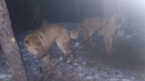 Двух шарпеев бросили замерзать у дерева в лесу Кыштыма